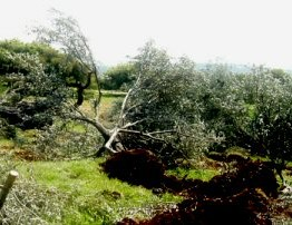 Palestine: Israeli settlers cut 36 Olive trees in S Hebron