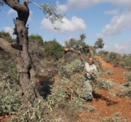 Palestine: Israeli settlers attack & damage Palestinian owned olive trees