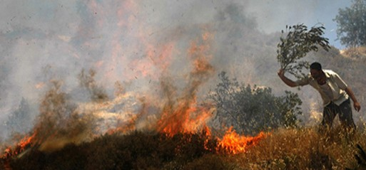 Illegal Israeli settlers destroy over a 1,000 olive trees in a month